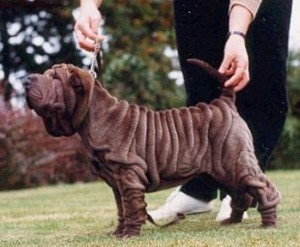 Millie typical shar pei pup 10 weeks