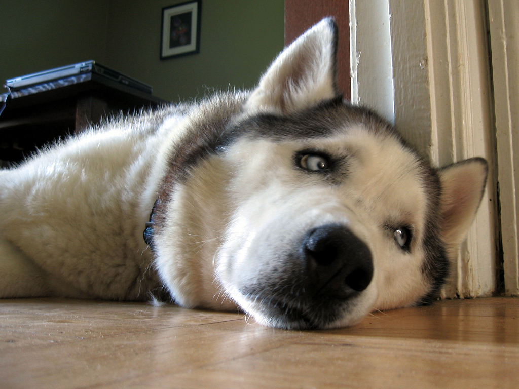Sad Husky for Pinterest HD Wide Wallpaper for Widescreen
