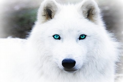 the_white_wolf_with_blue_eye__s_by_theofficialscourge-d4m29a9